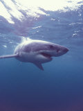 South Africa Great White Shark Fotografie-Druck von Michele Westmorland