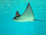 Sting Ray, Sea World, Gold Coast, Queensland, Australia Fotografie-Druck von David Wall