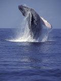 Humpback Whale Breaching Fotografie-Druck von Michele Westmorland