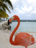 Pink Flamingo on Renaissance Island, Aruba, Caribbean Fotoprint van Lisa S. Engelbrecht