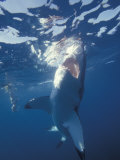 Underwater View of a Great White Shark, South Africa Fotografie-Druck von Michele Westmorland