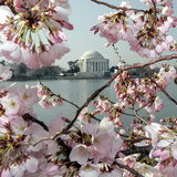 The Blossoms are Almost in Full Bloom on the Cherry Trees Photographic Print