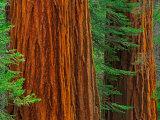 Giant Sequoia Trunks in Forest, Yosemite National Park, California, USA Fotografisk trykk av Adam Jones