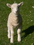 New Lamb, South Island, New Zealand Fotografisk tryk af David Wall