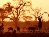 Adult Male Kudu with Impala at Pump Pan Waterhole, Chobe National Park, Botswana Impressão fotográfica por Andrew Parkinson