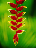Heliconia Flower, Nadi, Fiji Fotografie-Druck von Peter Hendrie