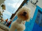 Dog in Zona Centro, Puerto Vallarta, Mexico Fotografisk tryk af Anthony Plummer