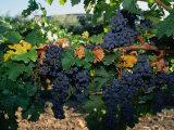 Grapes Growing at Mirassou Vineyards, San Jose, USA Fotografisk tryk af John Elk III