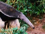 Captive Giant Anteater (Myrmecophaga Tridactyla), Brazil Lámina fotográfica por Mark Newman
