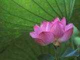 Ohga Lotus, Sankei-en Garden, Yokohama, Japan Fotografisk trykk av Rob Tilley