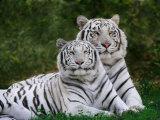 White Phase of the Bengal Tiger Fotografisk trykk av Adam Jones