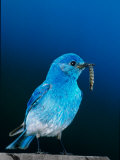 Mountain Bluebird in Yellowstone National Park, Wyoming, USA Photographic Print by Charles Sleicher