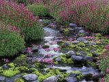 Monkeyflowers along Paradise Creek, Mt. Rainier National Park, Washington, USA Reproduction photographique Premium par Jamie & Judy Wild