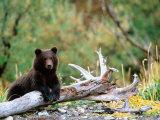 Brown Bear Cub in Katmai National Park, Alaska, USA Fotografisk tryk af Dee Ann Pederson
