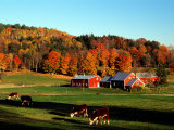Autumn Colors and Farm Cows, Vermont, USA Stretched Canvas Print by Charles Sleicher