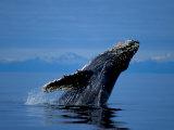 Breaching Humpback Whale, Inside Passage, Southeast Alaska, USA Fotografisk trykk av Stuart Westmoreland