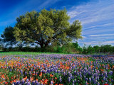 Live Oak, Paintbrush, and Bluebonnets in Texas Hill Country, USA Photographic Print by Adam Jones