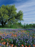 Paintbrush and Bluebonnets, Hill Country, Texas, USA Fotografisk trykk av Adam Jones