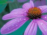Purple Cone Flower with Water Drops Reproduction photographique par Brent Bergherm
