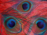 Peacock Feathers Pattern, Washington, USA Reproduction photographique par Jamie & Judy Wild