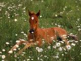 Arabian Pony, Oregon, USA Impressão fotográfica por Janis Miglavs