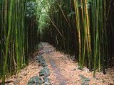 Bamboo Forest on the Waimoku Falls Trail, South of Hana, Maui, Hawaii, USA Photographic Print by Charles Sleicher