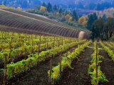 Vineyard in the Willamette Valley, Oregon, USA Photographic Print by Janis Miglavs