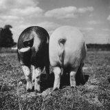 Rear View of Black Hog, with Overweight, White Hog, at Department of Agriculture Experiment Station Fotografisk tryk af Al Fenn