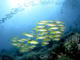Yellow Snappers, Komodo, Indonesia Photographic Print by Mark Webster