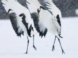 Red-Crowned Crane, Hokkaido, Japan Stampa fotografica di Roy Toft
