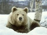 European Brown Bear, Ursus Arctos Male Sat on Snow Norway Fotografie-Druck von Mark Hamblin