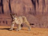 Mountain Lion, Portrait of Young Cub, USA Stampa fotografica di Daniel J. Cox