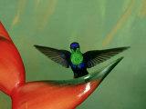 Violet-Crowned Woodnymph, Costa Rica Stampa fotografica di G. W. Willis