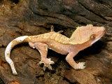 Crested Gecko Fotografisk tryk af David M. Dennis