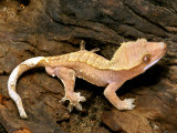 Crested Gecko Fotografie-Druck von David M. Dennis