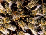 Honey Bees Fotografisk tryk af David M. Dennis