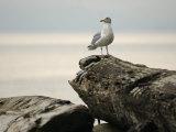 Seagull, Vancouver, British Columbia, Canada Stampa fotografica di Keith Levit