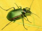 Caterpillar Hunter Beetle Fotografisk tryk af David M. Dennis