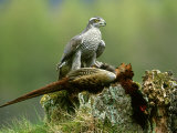 Goshawk, Feeding on Pheasant, Scotland Photographic Print by Mark Hamblin