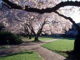 Cherry Blooms at the University of Washington, Seattle, Washington, USA Photographic Print by William Sutton