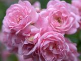 Pink Landscape Roses, Jackson, New Hampshire, USA Fotoprint van Lisa S. Engelbrecht