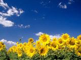 Zonnebloemen, Colorado, VS Premium fotoprint van Terry Eggers