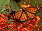 A Monarch Butterfly Rests on the Flowers of a Pagoda Plant Photographic Print