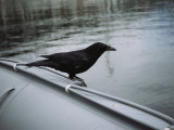 A Raven Perched on the Side of an Inflatable Boat Impressão fotográfica por Bill Curtsinger