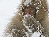 Big-Eyed, Snow-Covered Baby Snow Monkey (Macaca Fuscata) Fotografisk trykk av Roy Toft