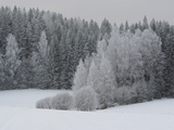 A Cold Forest of Pine Trees Covered in Snow and Frost Lámina fotográfica