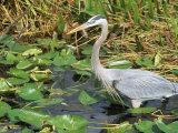 Great Blue Heron, Everglades National Park, FL Fotografisk tryk af Mark Gibson