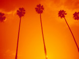 Row of Palm Trees, Santa Monica, CA Photographic Print by Gary Conner