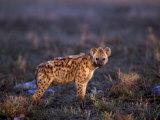 Spotted Hyena, Crocuta Crocuta, Tanzania Lámina fotográfica por Franz, D. Robert