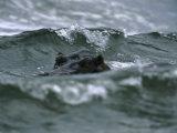 Hippopotamus Peering Out of the Surf Fotografisk trykk av Michael Nichols
